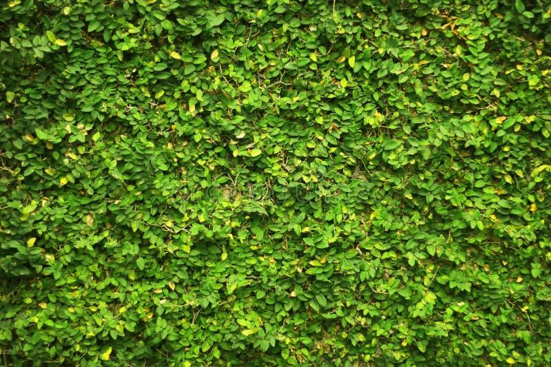 Murgrönagräsplansidor täckte väggen bakgrund av det naturliga trädstaketet för designkonstarbete royaltyfri bild