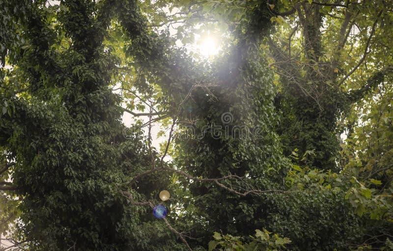 Murgrönan som upp klättrar ett träd och lämnar nästan, ingenting lämnat av trädet arkivbilder