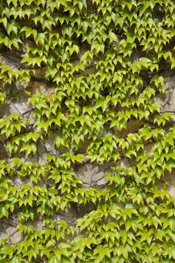 Murgrönasidor på väggen royaltyfria foton