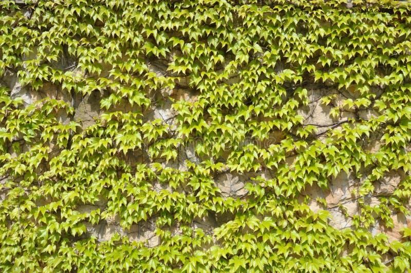 Murgrönasidor på väggen arkivbilder