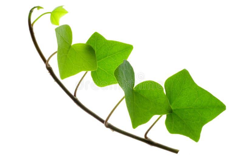 murgrönasprig arkivfoto