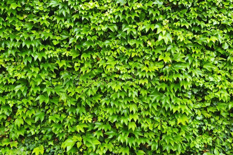 murgrönavägg arkivbilder