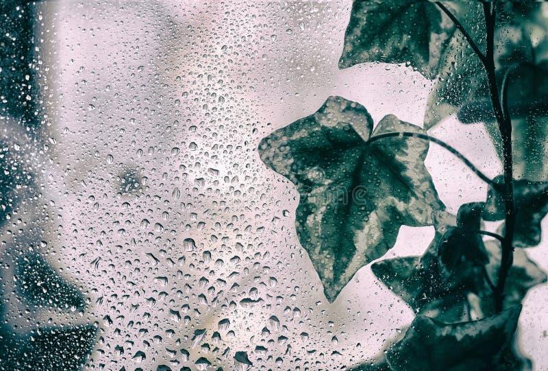 Murgrönaväxtblad med vattendroppar royaltyfri fotografi