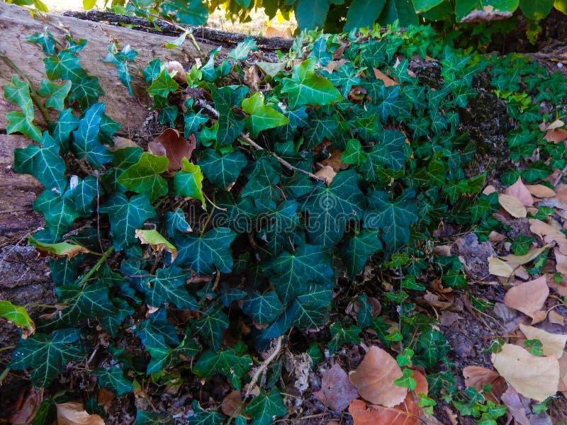 Murgrönaväxten som omger stammen royaltyfria bilder