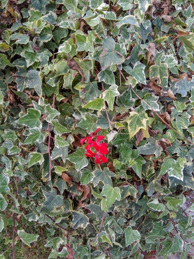 Murgrönavinranka som växer på en stor stam, murgrönasidor som startar att vända rött i nedgången, höstfärger royaltyfri bild