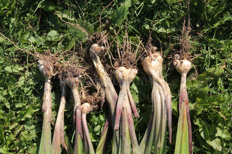 Murielae del gladiolo o bulbos recientemente cavados de Acidanthera con las raíces fotos de archivo