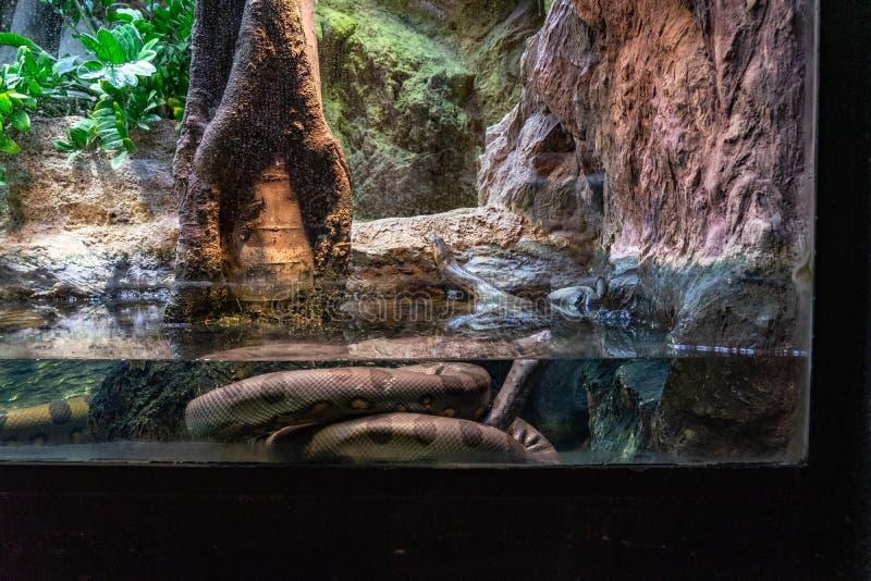 Murinus verde común del Eunectes de la anaconda en el parque zoológico Barcelona fotos de archivo libres de regalías
