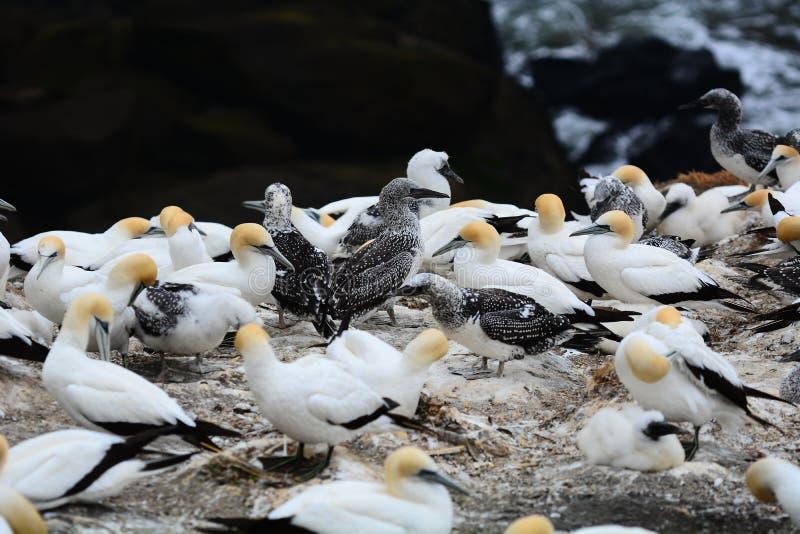 Muriwai的gannet殖民地,新西兰 数千Gannets桑属serrator巢这里从8月到3月每肯定 库存照片