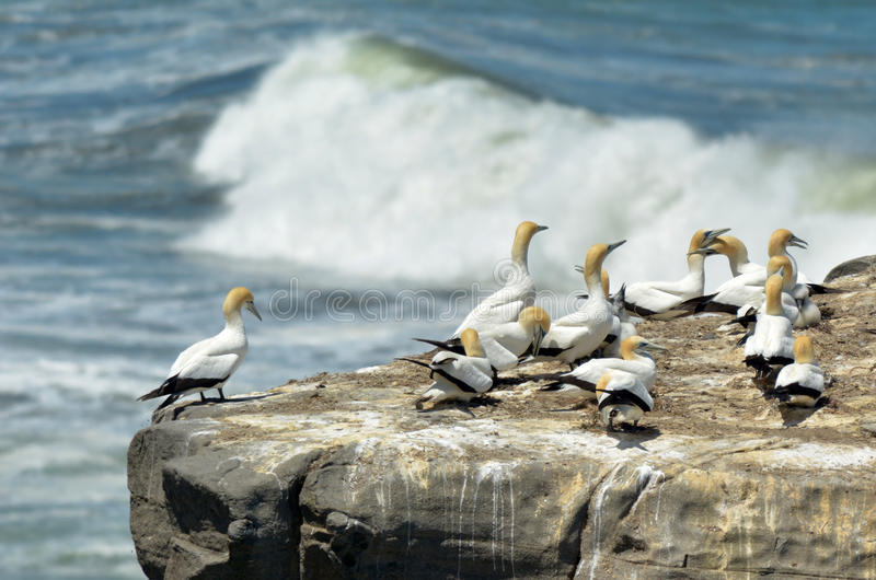 Muriwai gannet colony - New Zealand. Gannets in Muriwai gannet colony in Muriwai Regional Park, New Zealand royalty free stock images