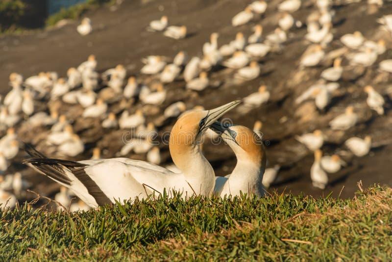 Muriwai Gannet kolonia, Muriwai regionalności park blisko Auckland, Północna wyspa, Nowa Zelandia zdjęcia stock