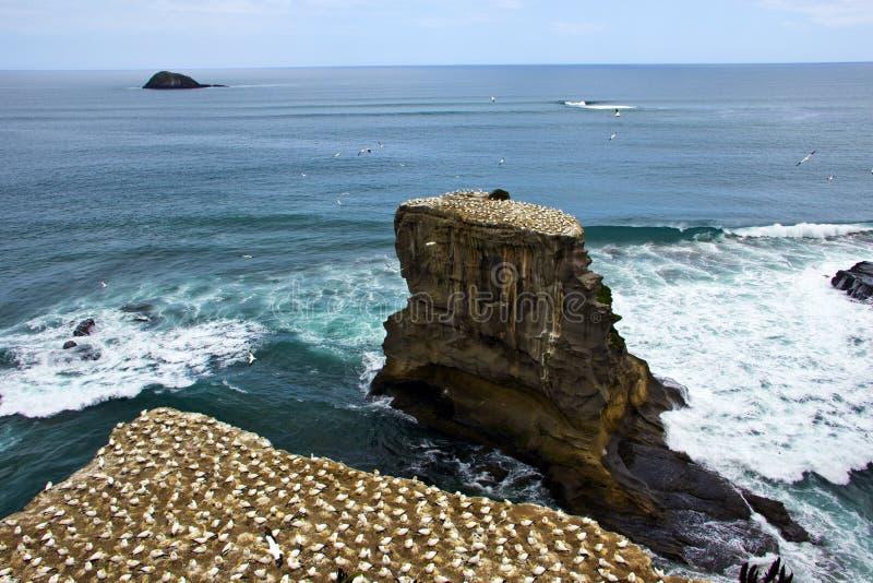 Muriwai havssulakoloni i Auckland arkivbilder