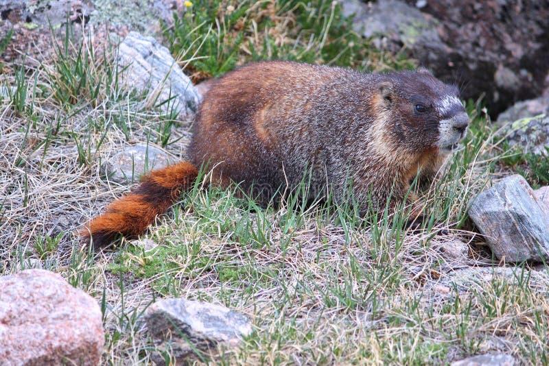 Murmeltier in Colorado stockbild