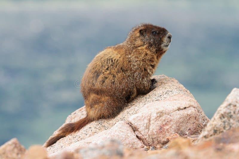 Murmeltier, das auf Felsen an der Spitze des Bergs Evans, Colorado stillsteht stockfotografie