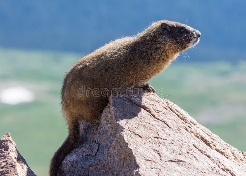 Murmeltier, das auf Felsen an der Spitze des Bergs Evans, Colorado stillsteht lizenzfreie stockbilder