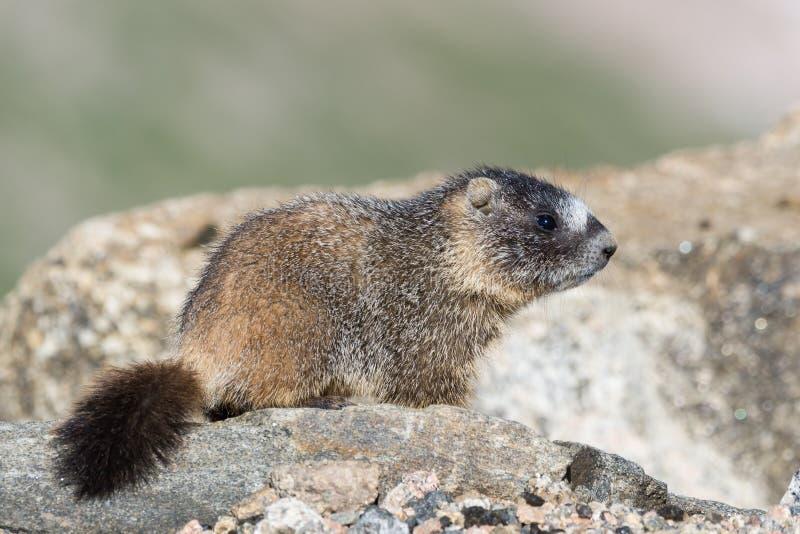 Murmeltier, das auf Felsen an der Spitze des Bergs Evans, Colorado stillsteht lizenzfreie stockfotos
