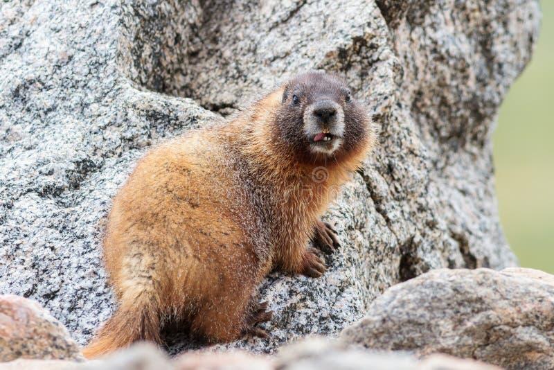 Murmeltier, das heraus sein Tongur beim Sitzen auf Felsen an der Spitze des Bergs Evans, Colorado haftet stockbild