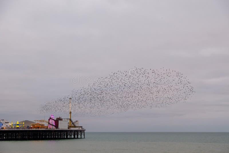 Murmuration de estorninos sobre el embarcadero del palacio, Brighton, Sussex, Reino Unido Fotografiado en una tarde fría en dicie fotografía de archivo libre de regalías