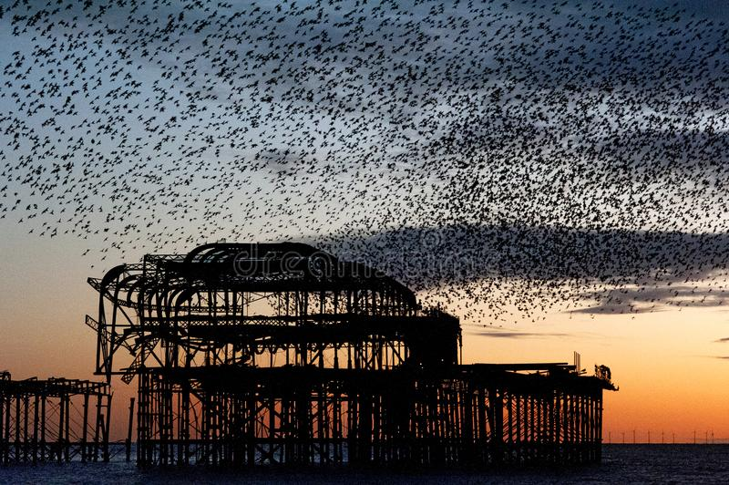 Murmuration over the ruins of Brighton`s West Pier on the south coast of England. Starlings flying in a huge mass in the autumn sunset skies above the seafront stock photography