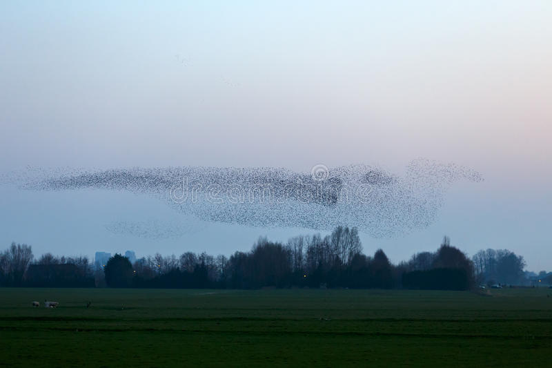 Download The Murmurations Of Starlings Stock Photo - Image: 38901872