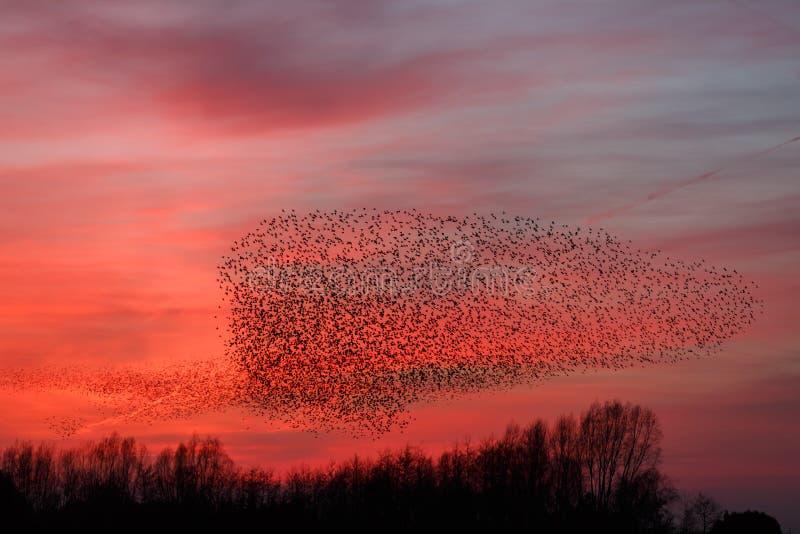 Download The Murmurations Of Starlings Stock Photo - Image: 38901878