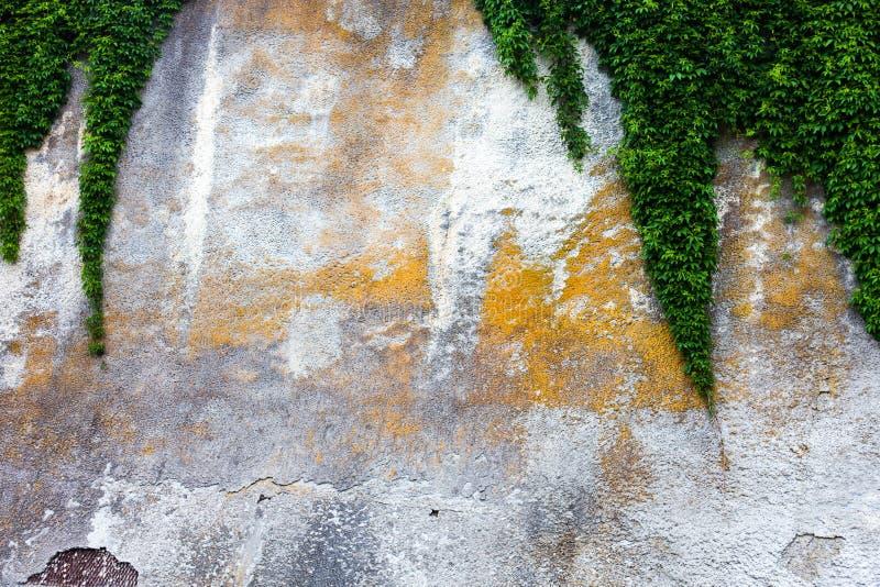 Muro de cemento viejo con la hiedra verde imagenes de archivo