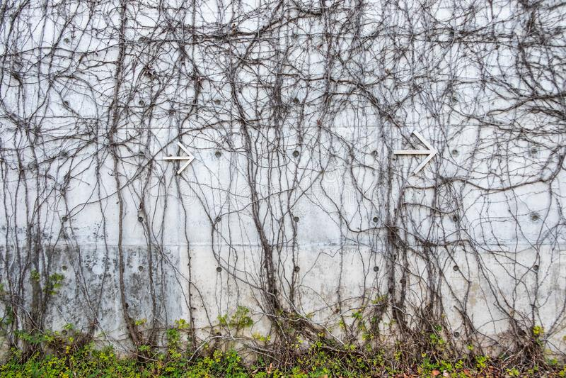 Muro di cemento grigio con le viti torte della giungla e freccia del metallo bianco che indica la destra fotografia stock