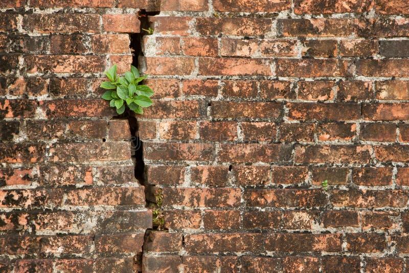 Muro di mattoni con una crepa e le piante immagine stock