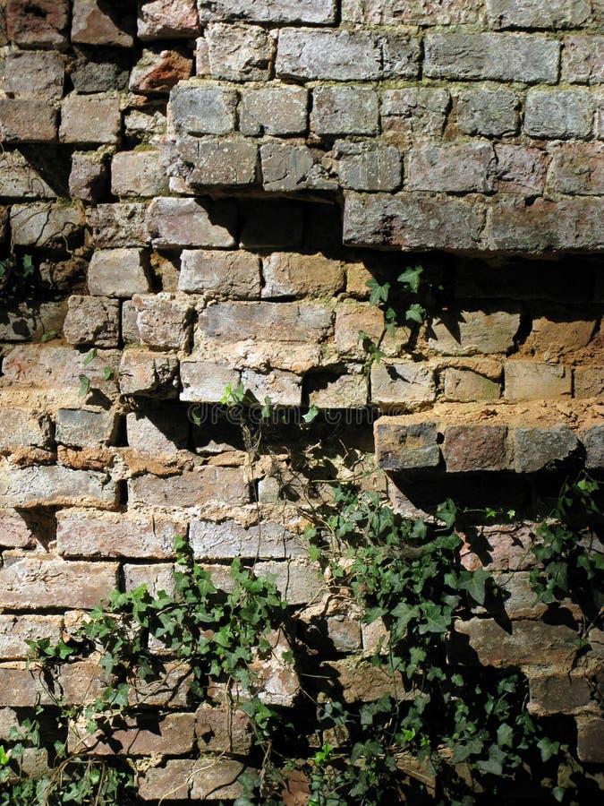 Muro di mattoni di sbriciolatura di lerciume con l'edera immagini stock libere da diritti