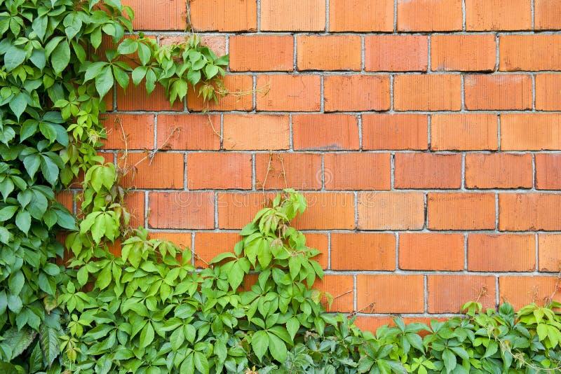 Muro di mattoni ed edera fotografie stock libere da diritti