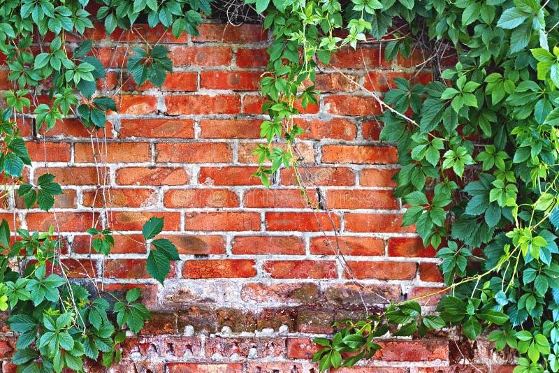 Muro di mattoni invaso con l'edera fotografie stock libere da diritti