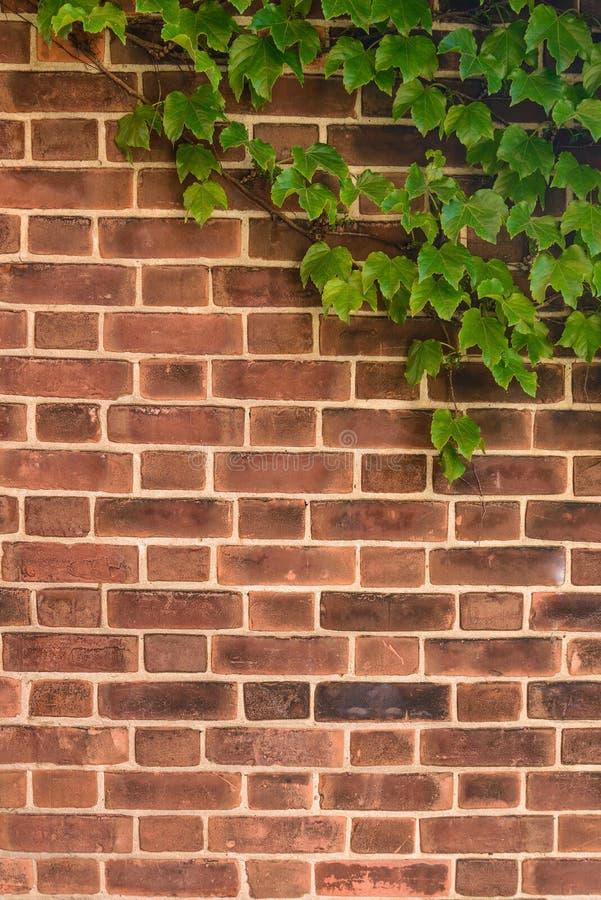 Muro di mattoni marrone-rosso con l'edera fotografia stock libera da diritti