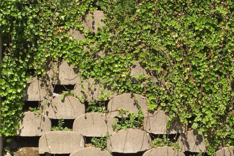 Muro di sostegno con l'edera fotografia stock libera da diritti