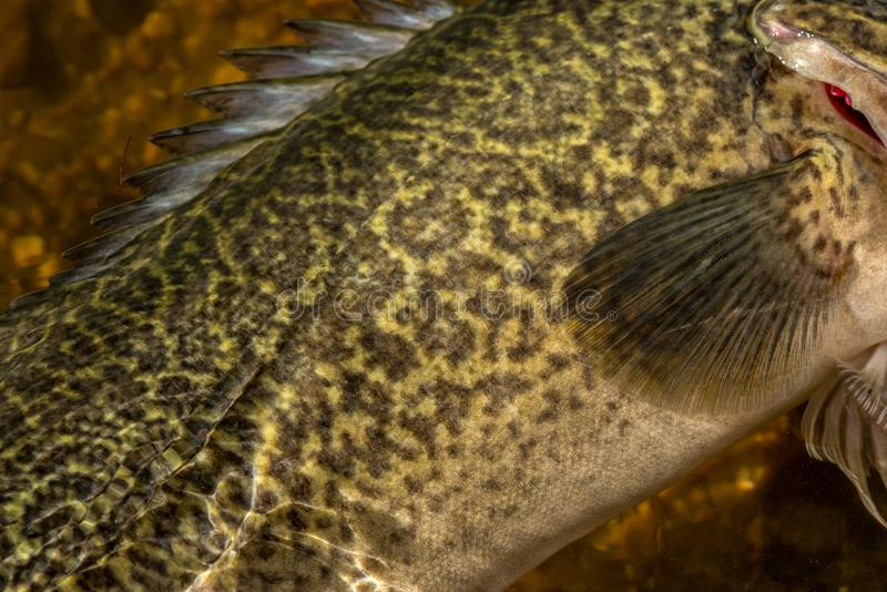 Murray cod scale patterns royalty free stock photo