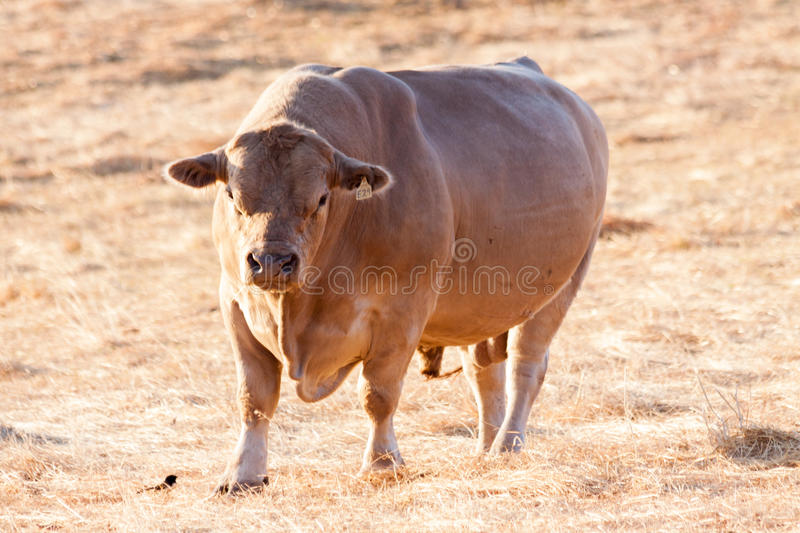 Murray Grey Bull arkivfoto