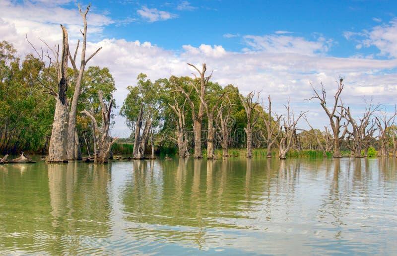Murray martwych rzek drzewa zdjęcia stock