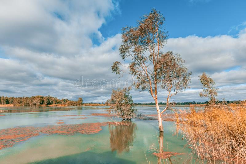 Murray River flooding and covering tree trunks. Riverland, South Australia royalty free stock photo