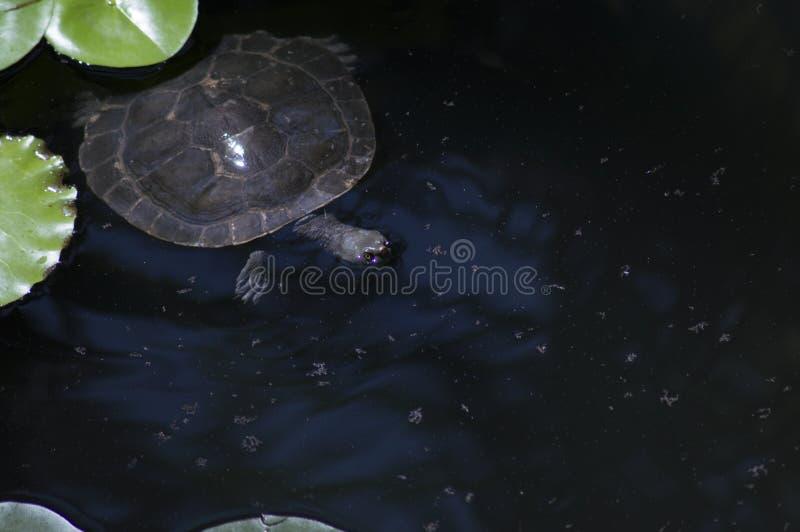 Murray Short-Necked Turtle royaltyfria foton