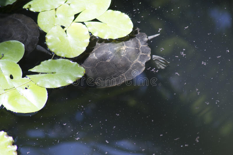 Murray Short-Necked Turtle - följ ledaren royaltyfria foton