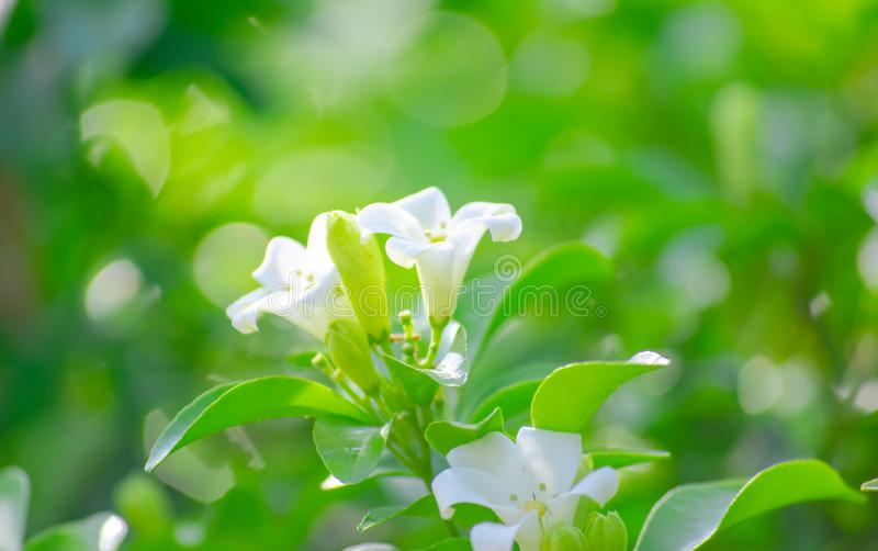 Murraya paniculata or Orange jasmine, white flowers growing up in the garden at home, beautiful and fresh. stock images