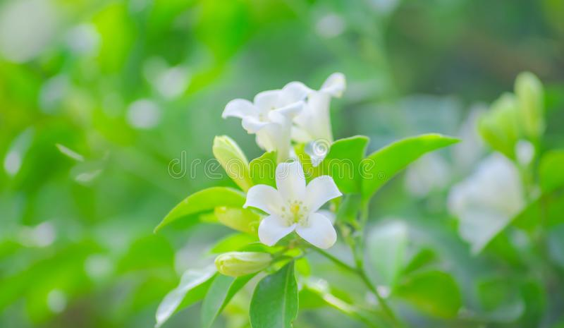 Murraya paniculata or Orange jasmine, white flowers growing up in the garden at home, beautiful and fresh. Agriculture, background, beautiful, countryside stock photography
