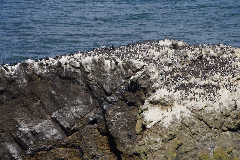 Murre commun et cormorans pélagiques photo libre de droits