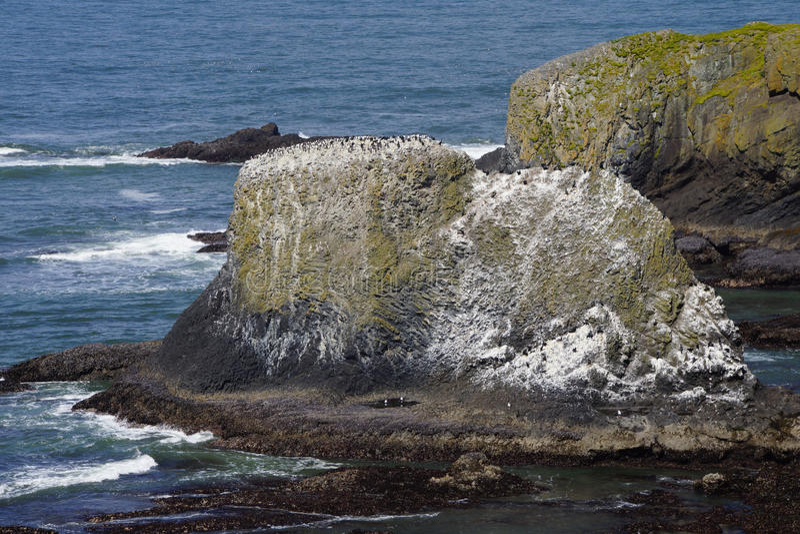 Murre comum e cormorão oceânico fotografia de stock