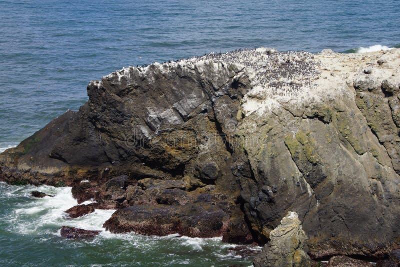Murre comum e cormorões oceânicos foto de stock