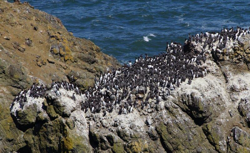 Murre comum e cormorões oceânicos fotos de stock