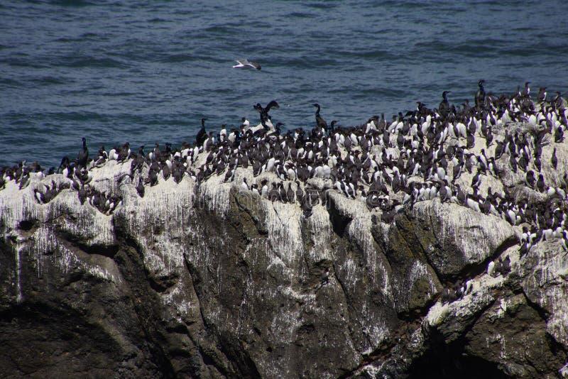 Murre comum e cormorões oceânicos imagem de stock