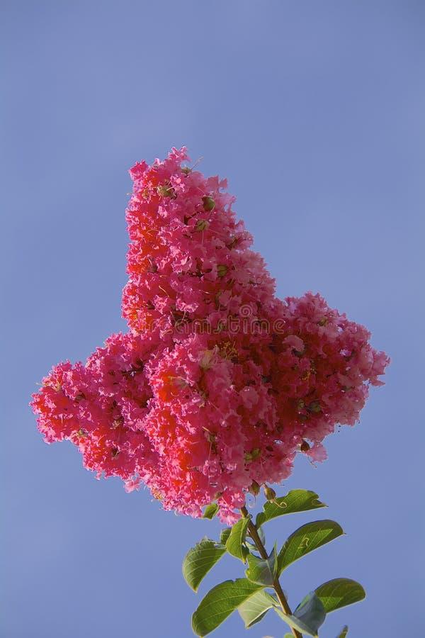 Murta de crepe cor-de-rosa fotografia de stock