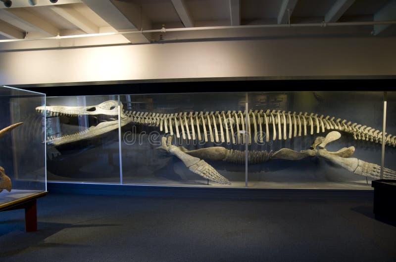 Mus?e de Harvard de squelettes de dinosaure d'histoire naturelle photo stock
