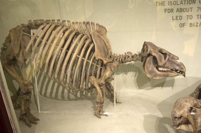 Mus?e de Harvard de squelettes de dinosaure d'histoire naturelle photographie stock