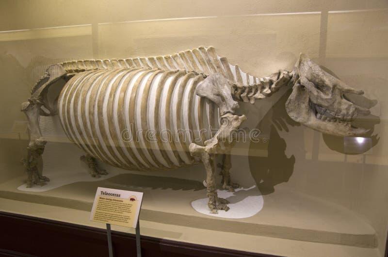 Mus?e de Harvard de squelettes de dinosaure d'histoire naturelle photographie stock libre de droits