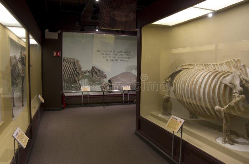 Mus?e de Harvard de squelettes de dinosaure d'histoire naturelle photo libre de droits